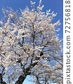 Landscape of cherry trees 72756818