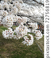 Landscape of cherry trees 72756819