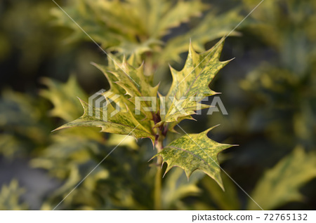 Holly osmanthus Tricolor 72765132