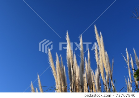 푸른 하늘 아래의 빤빠스구라스 72767940