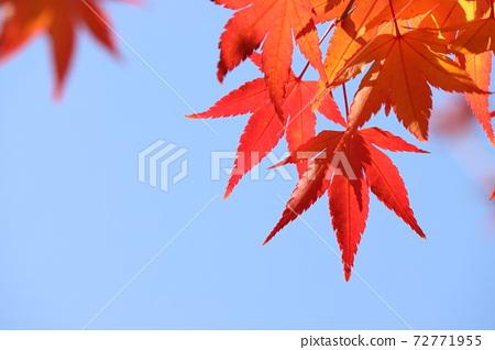 가을 하늘 빨간 단풍잎 72771955
