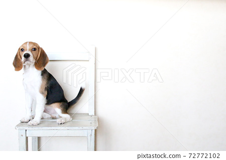 의자에서 휴식 비글 72772102