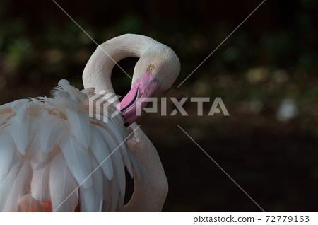 紅鶴(Phoenicopteridae)又名紅鸛、火鶴或火烈鳥,在台灣野生動物園。 72779163