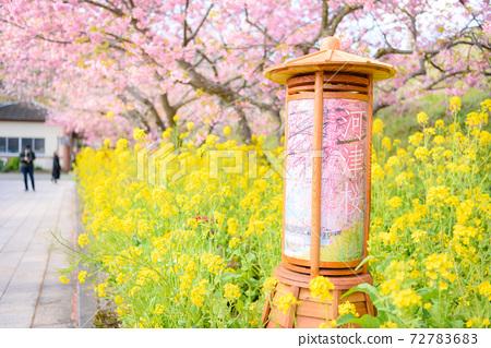 절정기를 맞이한 카와 벚꽃과 유채 꽃의 코라 (카와 벚꽃 축제) 72783683