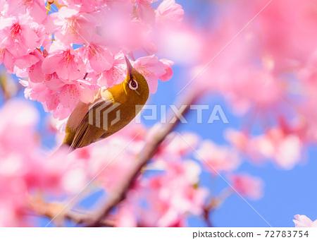 Kawazu櫻花盛開和mezzo 72783754