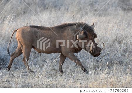 Iboinoshishi(肯尼亞Samble自然保護區) 72790293