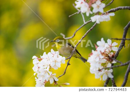 Uomi cherry blossoms and white-eye 72794483
