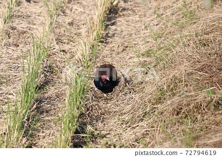 一條龍吃了稻田的垂耳 72794619