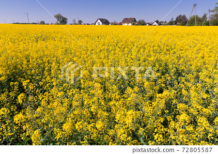 Picture of rape seed flowers field at sunny day, landscape 72805587
