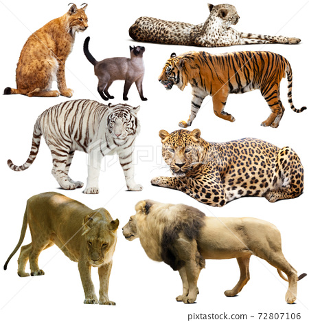 Collection of felidae family animals isolated on white 72807106