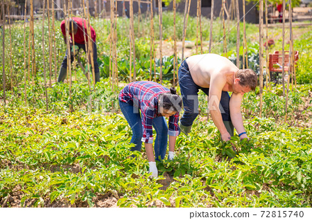 Woman gardener and man during working with potatoes bushes 72815740