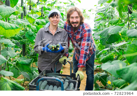 Satisfied man and woman together harvest cucumbers in greenhouse 72823964