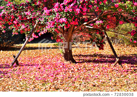 Sasanqua tree with scattered petals 72830038