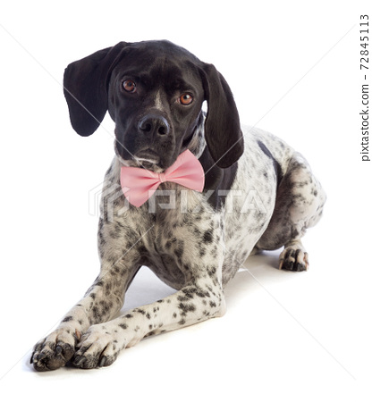 Black and white hunting dog with pink bow tie 72845113