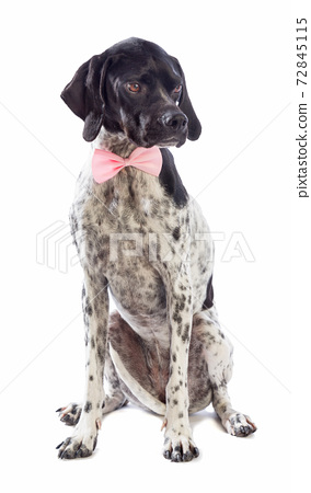 Black and white hunting dog with pink bow tie 72845115