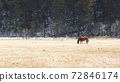 horse looking back in the grassland in western china, grass land background in pudacuo national park 72846174