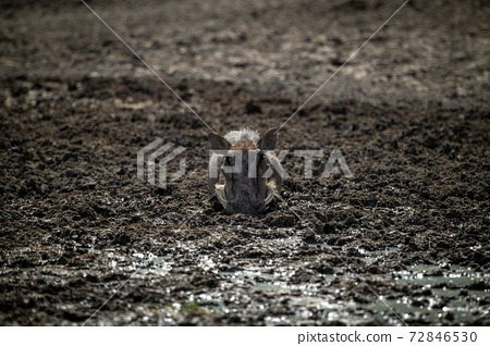 Common warthog lies in mud facing camera 72846530
