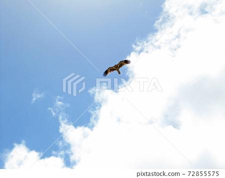 憤怒的小鳥在天上飛,莫頓島,布里斯班,昆士蘭州,澳大利亞, 72855575