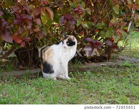 三毛貓回望 72855851