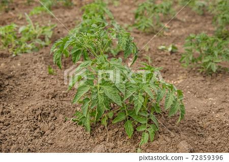 Growing tomatoes in the garden in the garden. 72859396