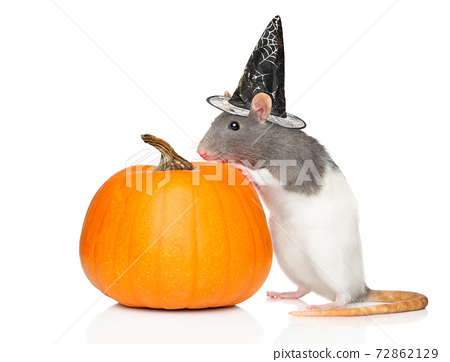 Decorative rat in Witch s hat near pumpkin 72862129