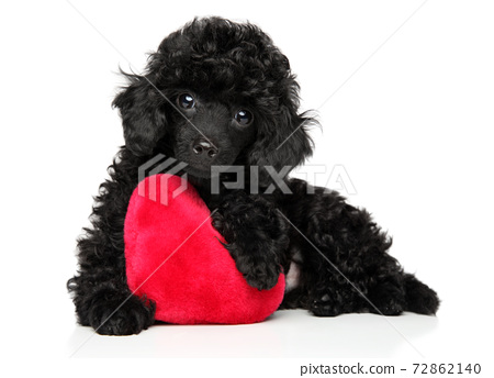 Toy poodle with a red heart 72862140