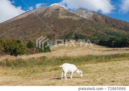 秋天,鳥取縣大山市正水高原的山羊 72863066