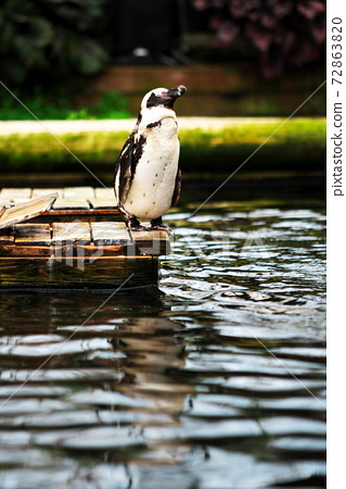 Penguins taking a rest at the waterside 72863820