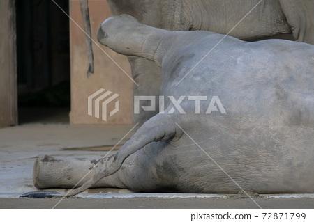 누워 다리를 들어 올린다 작은 코끼리 (코끼리 히가시야마 동식물원 아이 치현 나고야시) 72871799