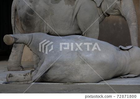 누워 누워 작은 코끼리 (코끼리 히가시야마 동식물원 아이 치현 나고야시) 72871800