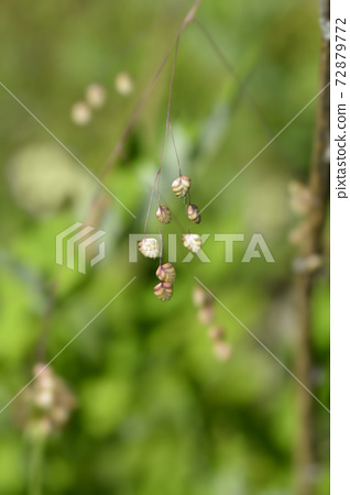 Common quaking grass 72879772