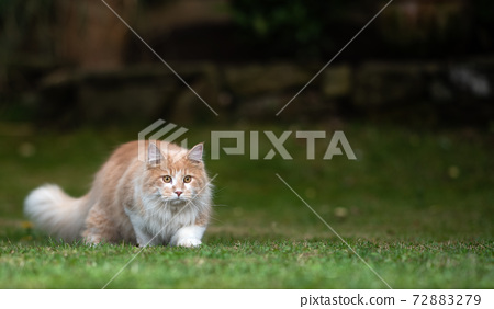 prowling cat outdoors walking lowered 72883279
