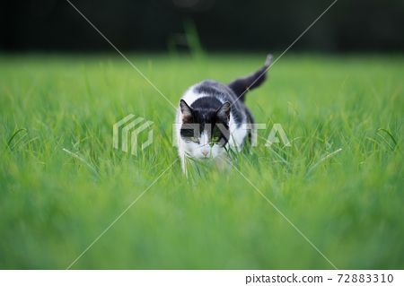 stray cat prowling walking in high grass 72883310