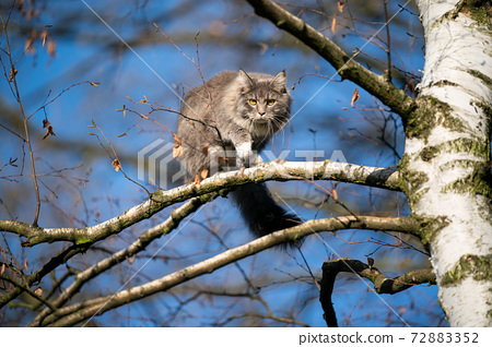 curious cat climbing on high tree on blue sky 72883352