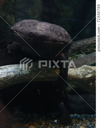Japanese giant salamander standing on the bottom of the water 72886789