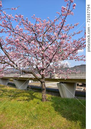 이즈의 나라 카노 강을 따라 벚꽃 72887794