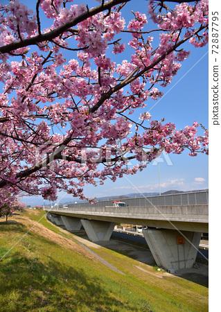 Sakura in Izunokuni along the Kano River 72887795