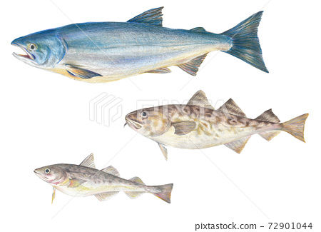 現實的彩色鉛筆素描的鮭魚,斑駁和精細 72901044