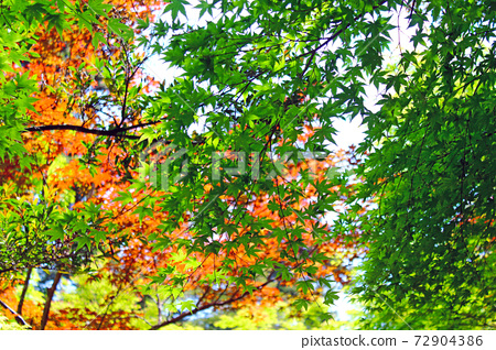 【히로시마】 초여름의 미야지마 모미지 다니 공원의 신록과 붉은 단풍 72904386