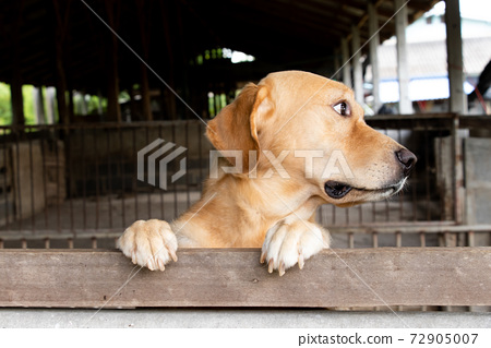 Brown golden retreiver dog stood and wait over the cage 72905007