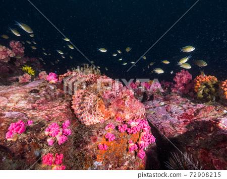 有鬍子的蝎子魚,是模仿岩石的Onikasago的成員(緬甸梅吉群島) 72908215