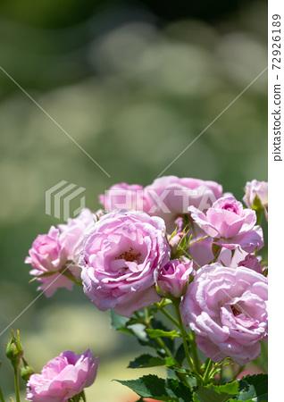 Rose corotillon 72926189