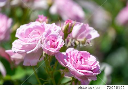 Rose corotillon 72926192