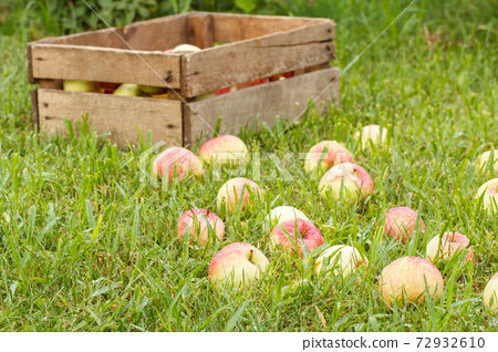 Red apples and old wooden box on green grass in the orchard. 72932610