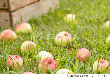 Red apples and old wooden box on green grass in the orchard. 72932612