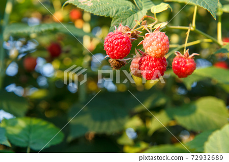 Ripe and unripe raspberries are grown in the garden. 72932689