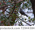 brown-eared bulbul on a branch picking fruit in winter 72944384