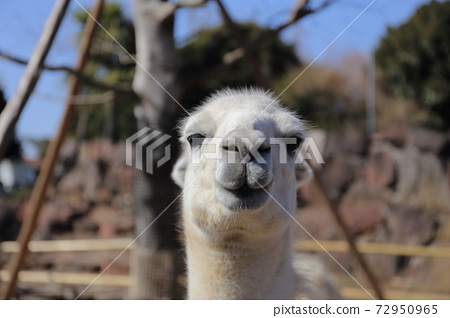 Llama staring at us 72950965