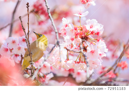 만개 한 벚꽃에 띄는 동박새 72951183