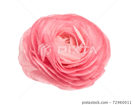 Pink ranunculus isolated Flower head water drops 72960011